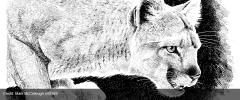 Yale - Cougar.jpg
